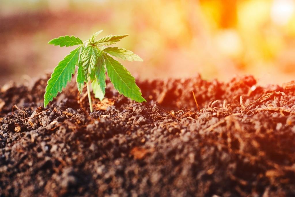 Virkning af forurenet jord på CBD -produkter
